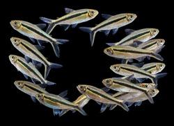 Group of Thayeria boehlkei ( T. boehlkei ),  species of characin fish, Amazon river, blackline penguin fish, hockey-stick tetra, penguin tetra  isolated on black background