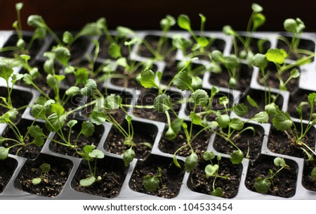 Group of the beginnings of tomatoes in soil