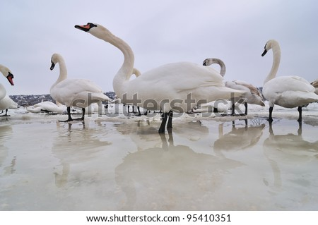 Group of the swans on the frozen river