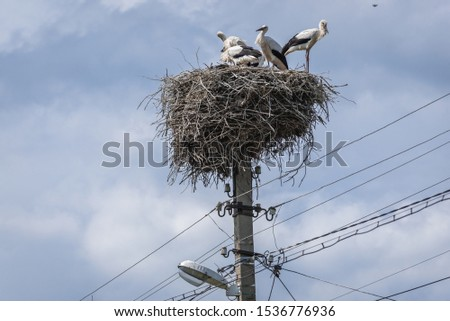Group of the white storks in large nest in Polish village Stircea in Moldova