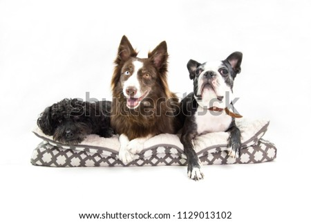 group of three adorable dogs sharing a puppy bed. Isolated in a white background. French poodle , border collie and boston terrier. pets looking happy . funny expression looking up