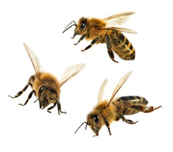 group of three bee or honeybee in Latin Apis Mellifera, european or western honey bee isolated on the white background