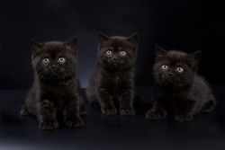 Group of three black British Shorthair kittens on a black background