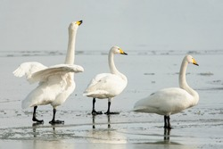Group of three large white birds,  whooper swan, Cygnus cygnus standing together on the ice during cold winter day in Estonia