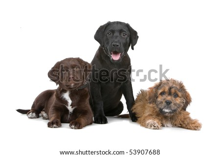 group of three puppies, two labradors and one boomer