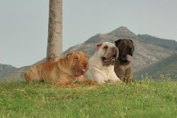 Group of three shar pei dog purebred with different colors