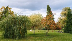 group of three trees in the ornamental garden, birch and mountain ash with drooping branches, ornamental willow