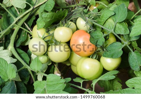 Group of tomatoes growing on vine some ripe and some unripe