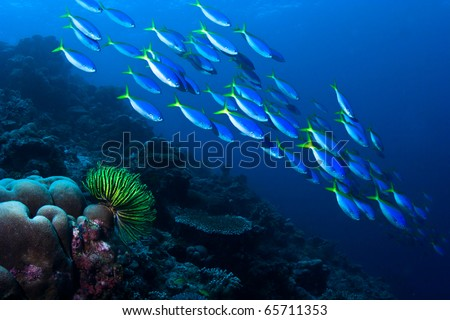 Group of  tropical yellow fish swimming under water over a coral reef with blue ocean background