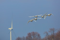 Group of Tundra Swans (Cygnus columbianus) Flying Against a Blue Sky with a Wind Turbine in the Background - Ontario, Canada