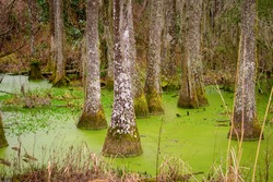 Group of Tupelo trees grow in a blackwater swamp in the low country of Charleston, South Carolina, USA.