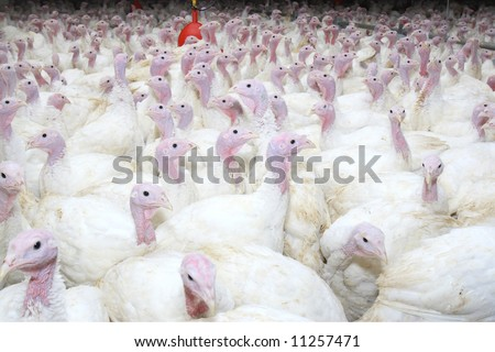 group of turkeys at farm - stock photo