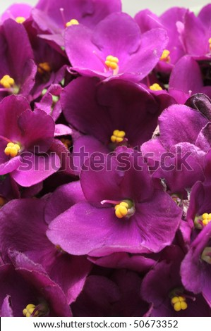 Group of violet flowers with yellow stamens