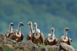 Group of vultures. Griffon Vulture, Gyps fulvus, big birds of prey sitting on the rocky mountain, nature habitat, Madzarovo, Bulgaria, Eastern Rhodopes. Wildlife from Balkan.