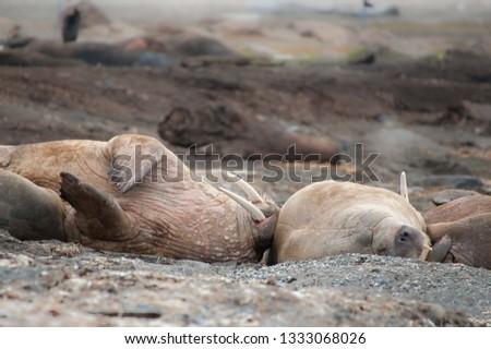 group of walrus (Odobenus rosmarus) asleep on their sides on beach in northern arctic