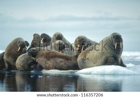 Group of walrus on ice floe in Canadian High Arctic