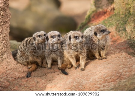 Group of watchful meerkats on the termitary. Animals in Africa