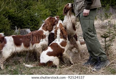 Group of welsh springer spaniels
