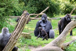 Group of western lowland gorillas (Gorilla gorilla gorilla) with an silverback alpha male