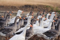 Group of white and gray geese in a meadow on summer day. Domestic geese walking in a flock in a meadow. Close up shot. Concept of animal husbandry