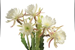 group of white epiphyllum (orchid cactus) flowers with leaves isolated on white background