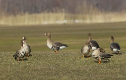 Group of white fronted geese resting and feeding in coastal golf course grassland