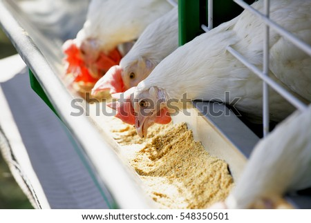 Group of white hens pecking fourages from the trough