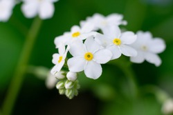 Group of white little florets of wild forget-me-not on green background with bokeh effect. Flowers growing in the garden