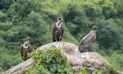group of white rumped vulture sitting on  rock ghachok pokhara nepal