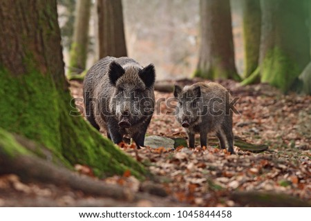 Group of wild boars (Sus scrofa - wild swine - Eurasian wild pig - wild pigs) in his natural environment in european forest in late autumn Photo stock ©