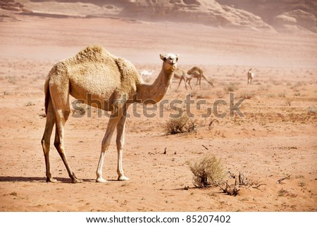 group of wild camels in the Wadi Rum desert