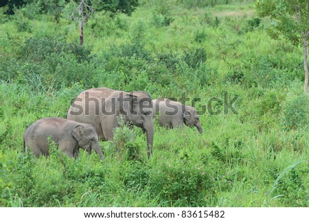 Group of wild elephant walking on grass, Kuiburi national park, Thailand