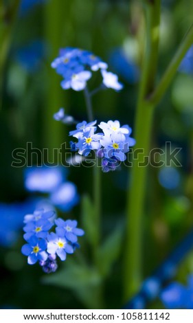 Group of wild forget-me-not flowers. Summer in garden