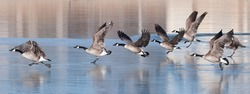 Group of wild geese on an icy lake in winter time in Longmont. Colorado, USA
