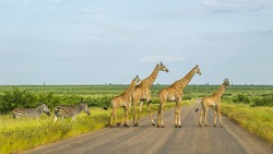 group of wild giraffes in a green savannah crossing the road in Kruger park, South Africa