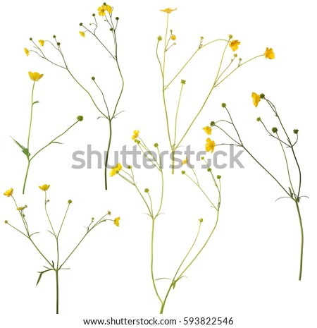 group of wild golden buttercup flowers isolated on white background #593822546