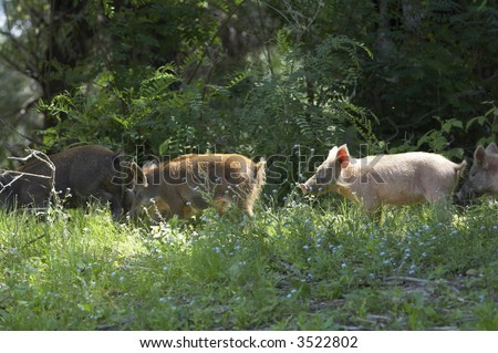 group of wild pigs in the wood