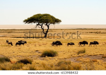 Group of wildebeests walking along in the Etosha National Park. In the background you see a nice acacia tree and the Etosha Pan.