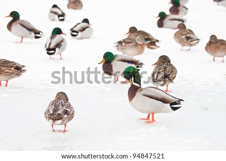 group of wind ducks in snow, idaho, north america