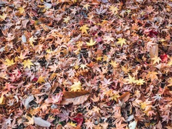 group of yellow and brown dry leaf fallen on floor in autumn season at fushimi inari japan