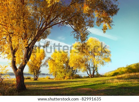 Group of yellow autumn trees standing on a meadow by river