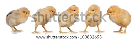 Group of yellow chickens isolated on white background