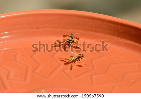 Group of yellow jacket bees getting water from a clay bird feeder #150567590