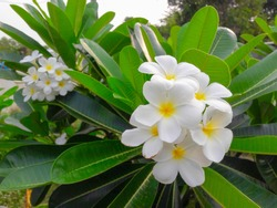 group of yellow white and pink flowers (Frangipani, Plumeria) on a sunny day with natural background