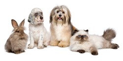 Group of young pets: english setter puppy, havanese dog, persian kitten, little rabbit - isolated on white