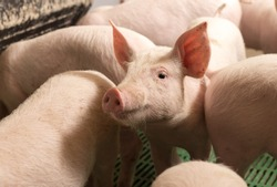 Group of young pigs standing in modern pigpen with PVC flooring