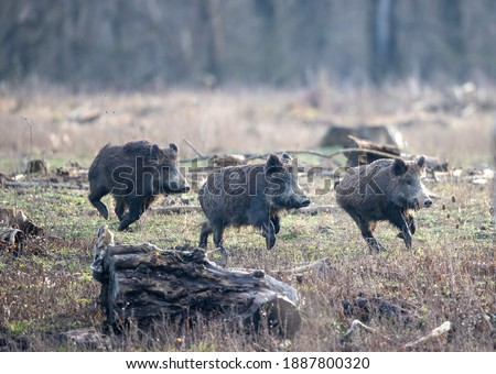 Group of young wild boars (sus scrofa ferus) running on meadow in forest in winter time. Wildlife in natural habitat Photo stock ©