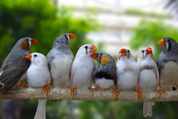 Group of Zebra finches perched on a branch, green background