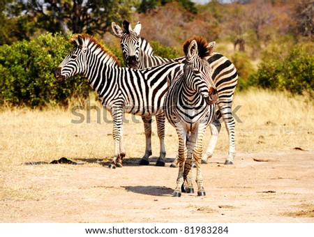 Group of zebra in a nature reserve - stock photo