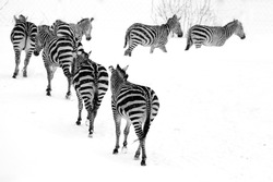 Group of zebras follow the leader in the snow